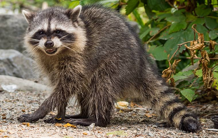 raccoonbbs.jpg