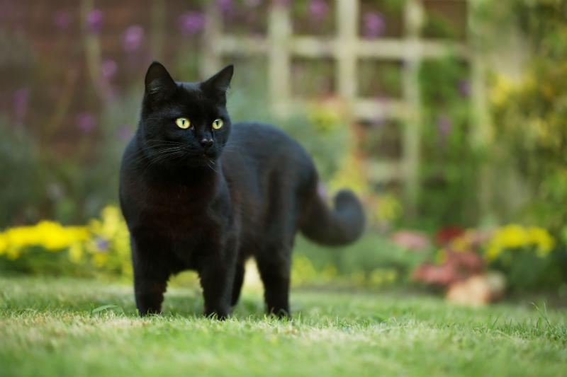 blackcatfever